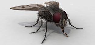 custom 3d modeling Housefly