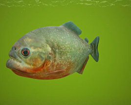 3D model of Red-Bellied Piranha