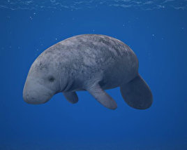 3D model of West Indian Manatee