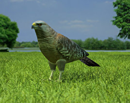 3D model of Red-Shouldered Hawk
