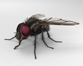 3D model of Housefly HD