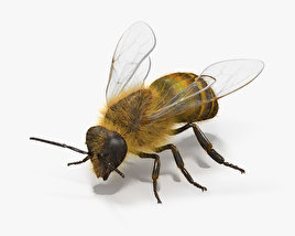 3D model of Honey Bee HD