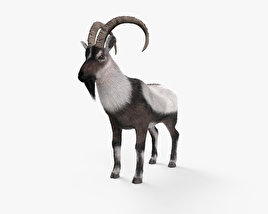3D model of Wild Goat HD