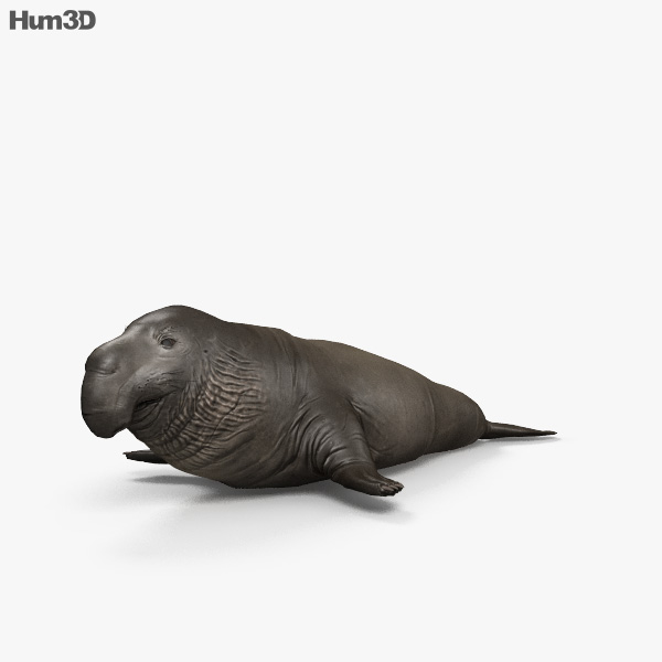3D model of Northern Elephant Seal HD