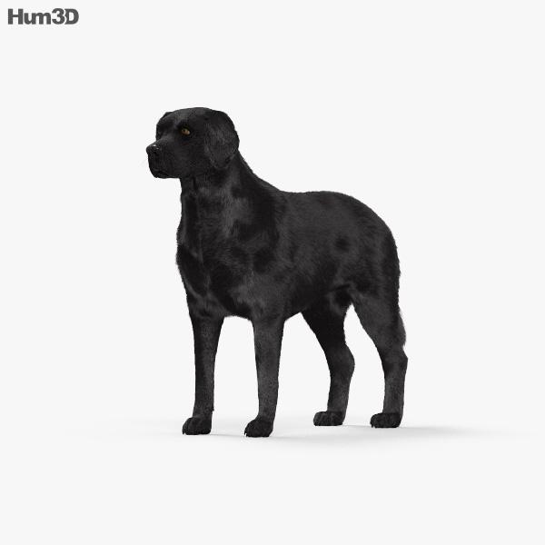 Labrador Retriever Black HD 3D model