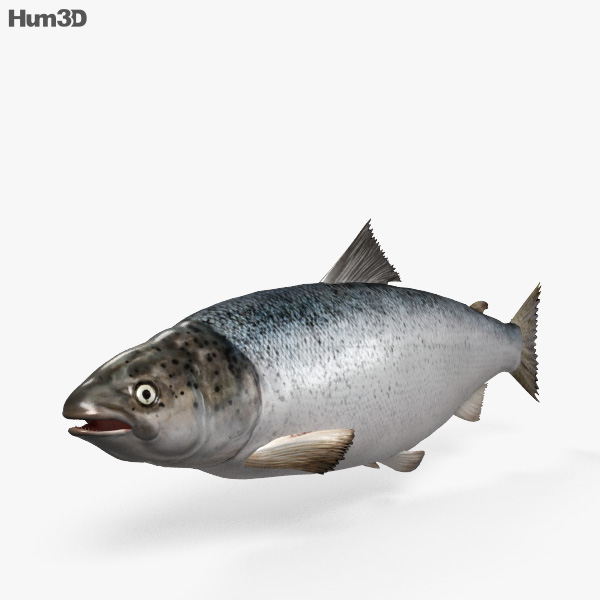 Atlantic Salmon HD 3D model