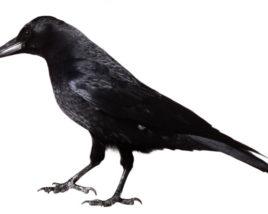 3D model of Crow