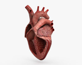 3D model of Human Heart Cross Section