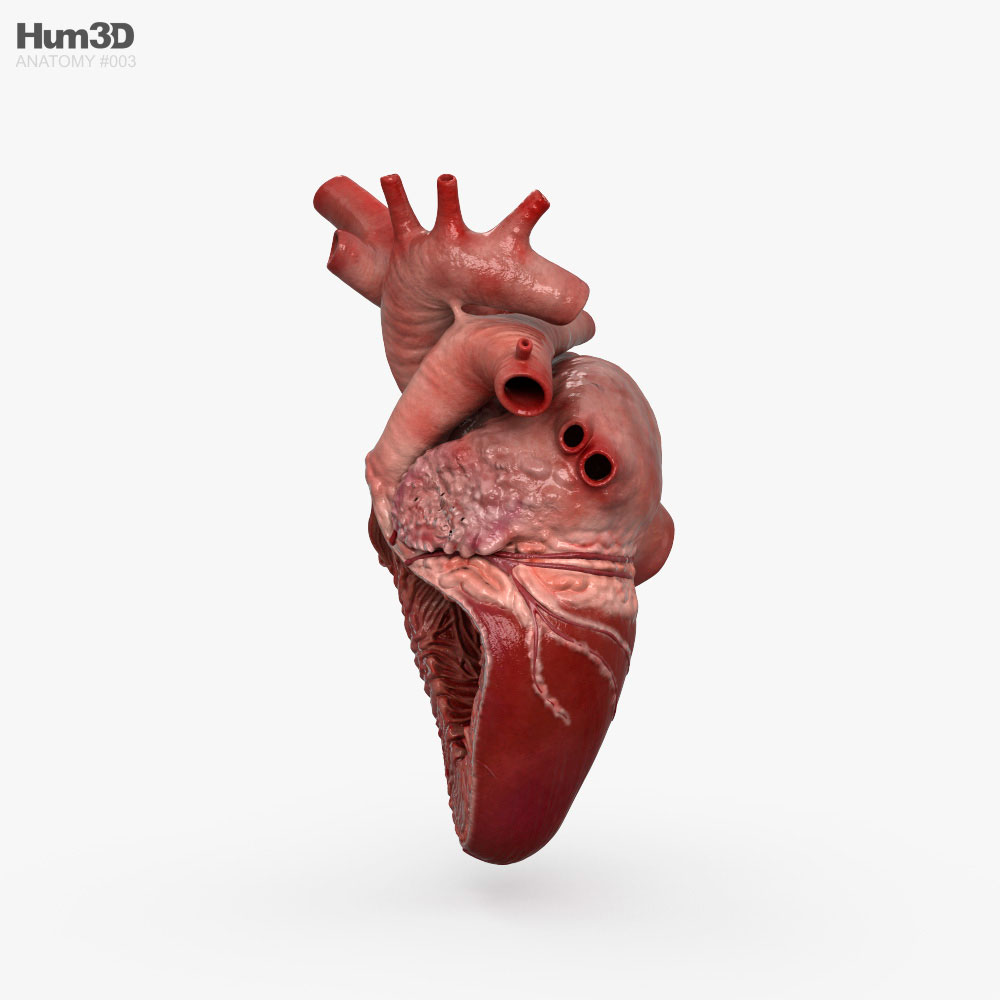 Human Heart Cross Section 3d model