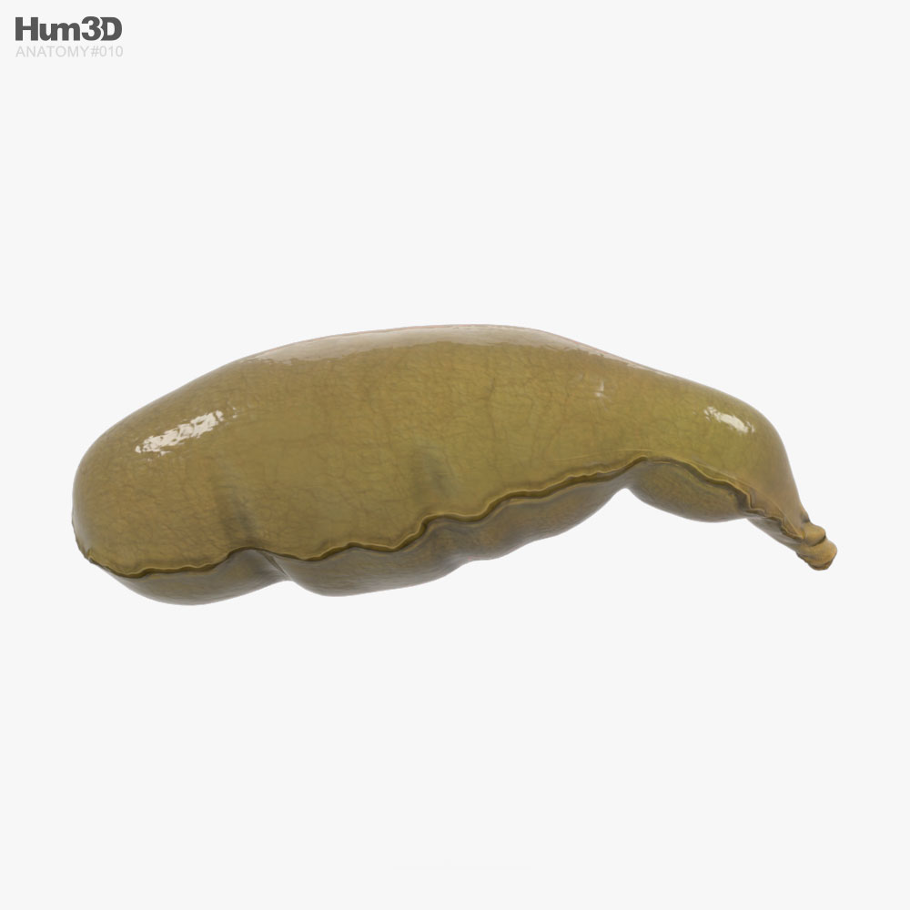 Human Gallbladder 3d model