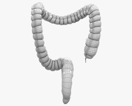 Human Large Intestine 3d model