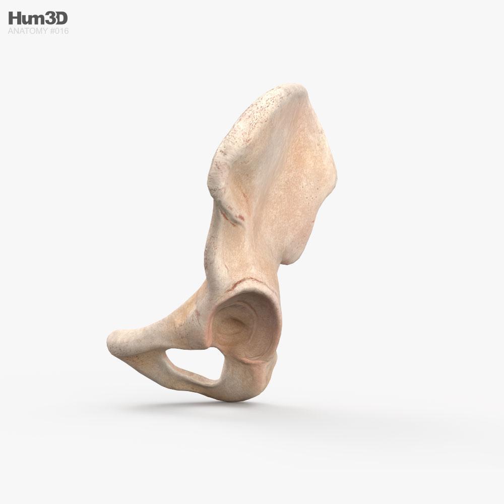 Hip Bone 3d model