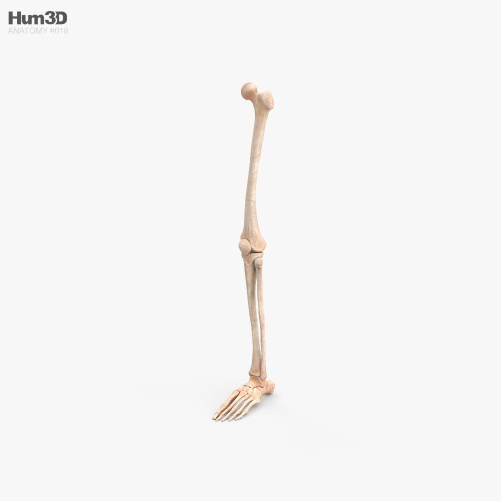 Human Leg Bones 3D model