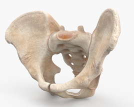 3D model of Pelvis