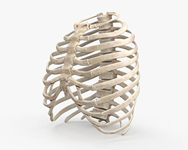 3D model of Rib Cage