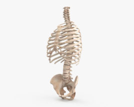 3D model of Human Torso Skeleton
