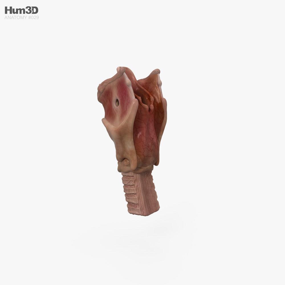 Larynx 3d model