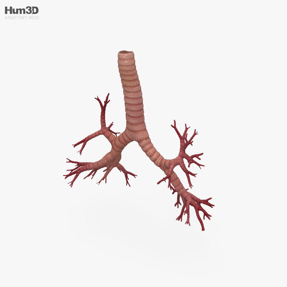 Bronchial Tree 3D model