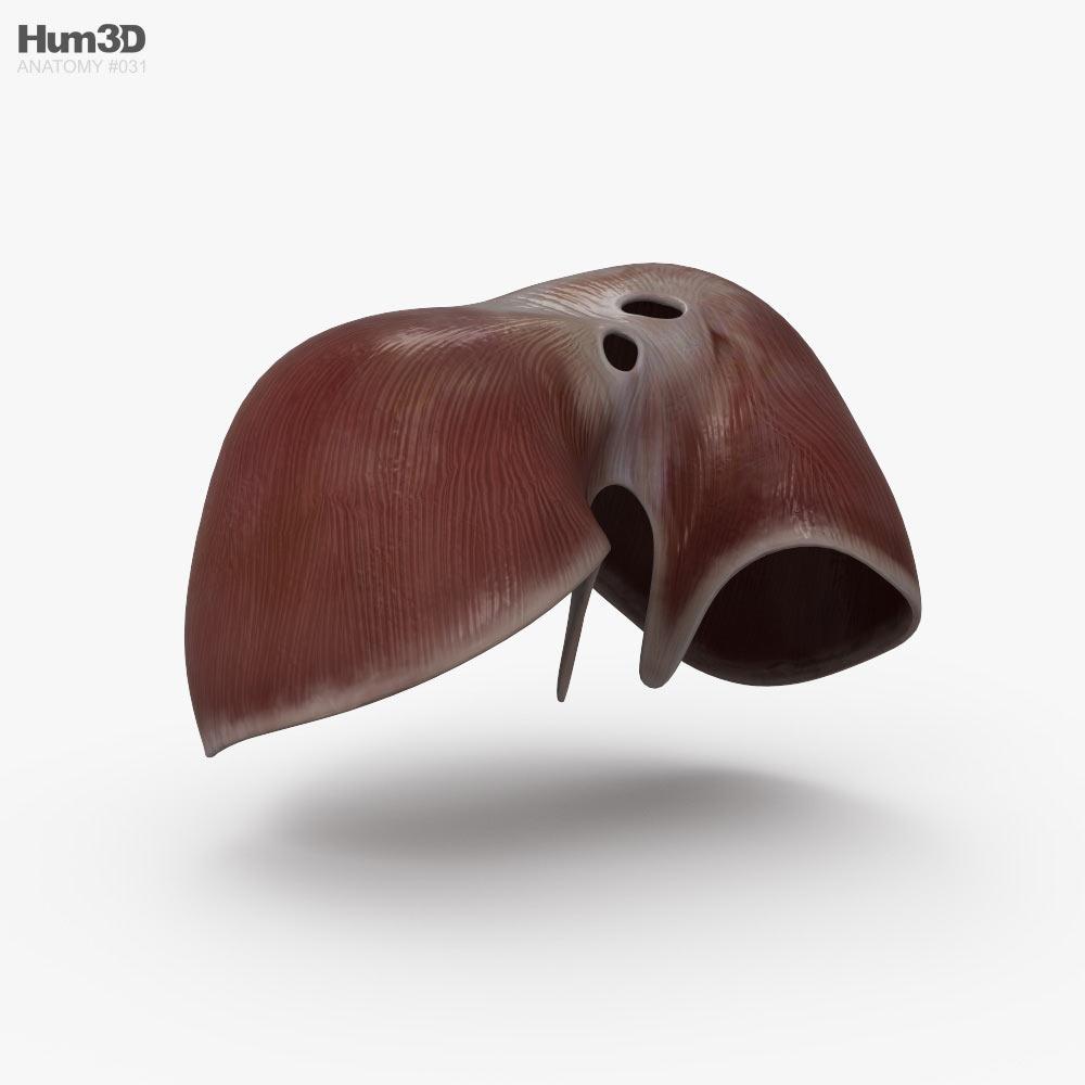 Diaphragm 3d model