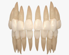 3D model of Human Teeth