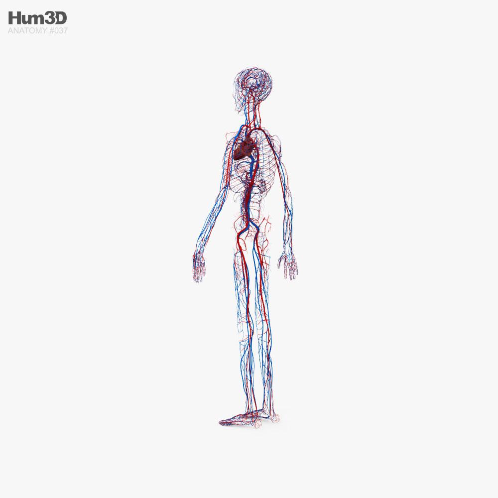Human Circulatory System 3d model