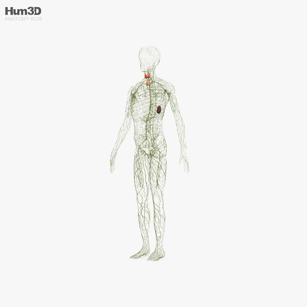 Human Lymphatic System 3D model