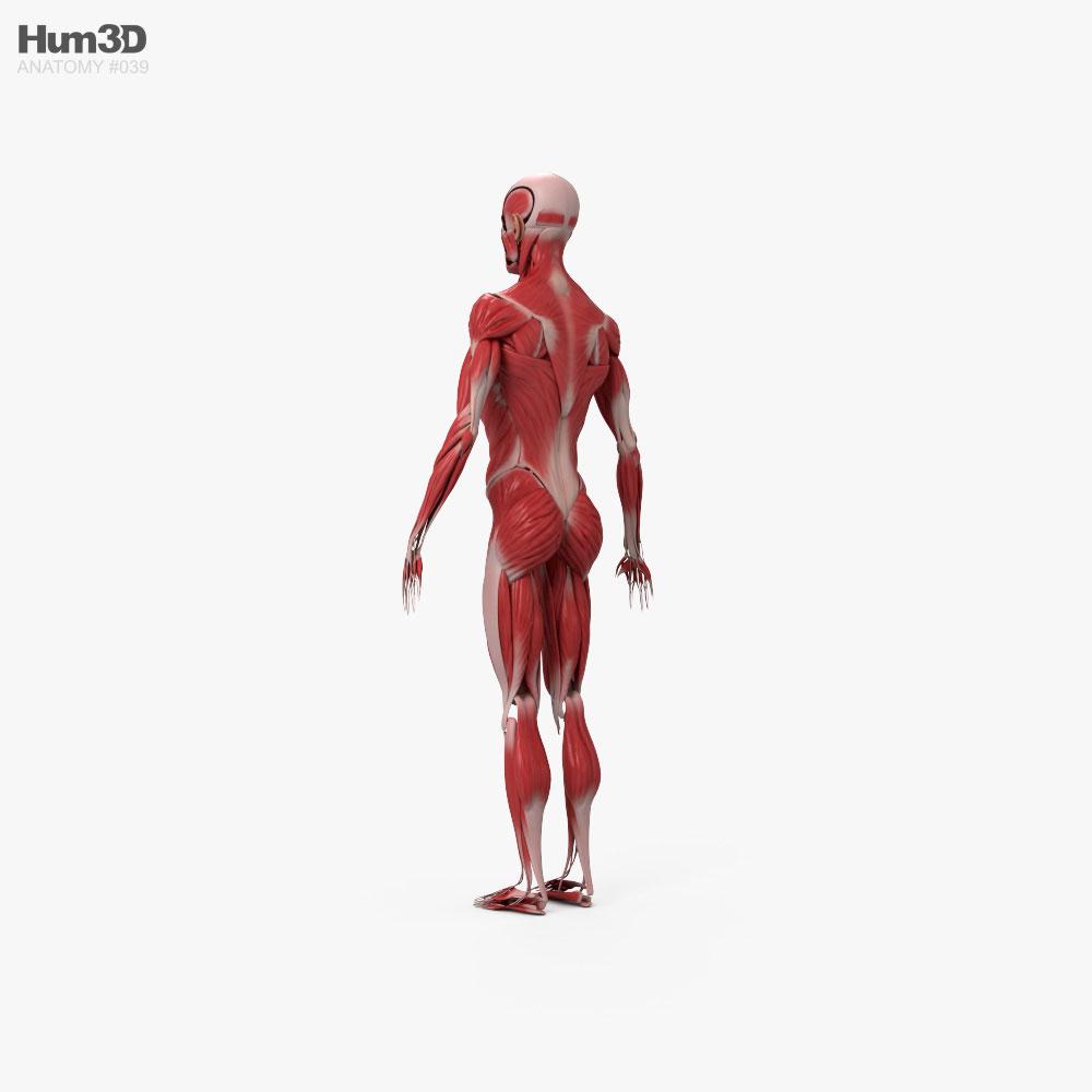 Human Muscular System 3d model