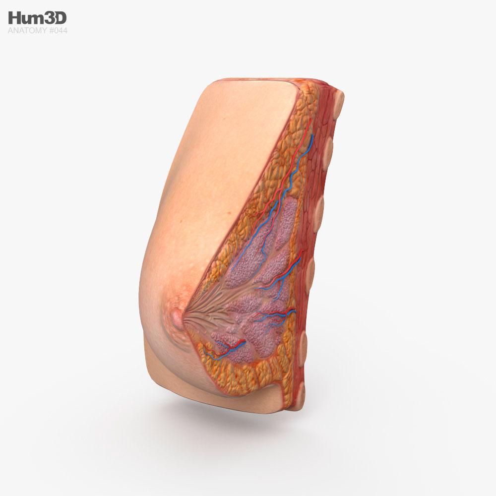 Female Breast 3D model