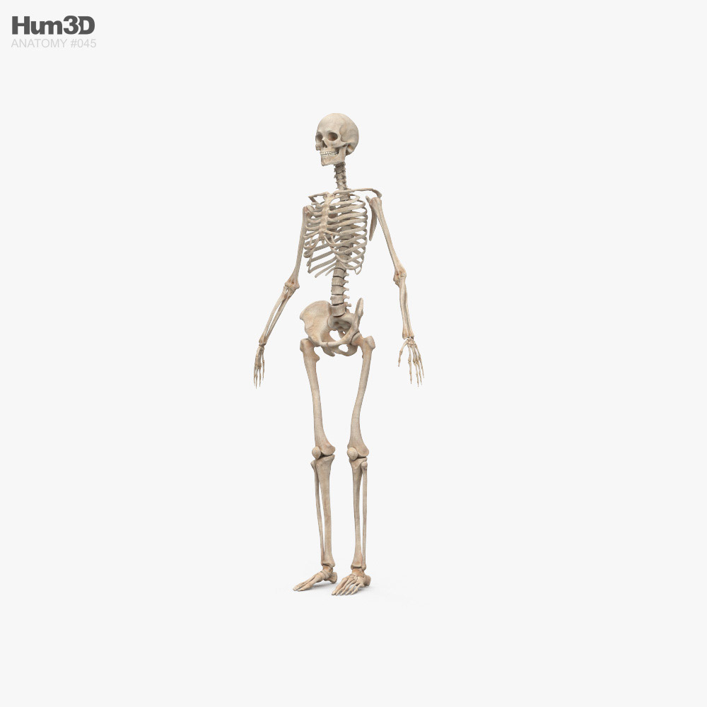 Human Female Skeleton 3d model