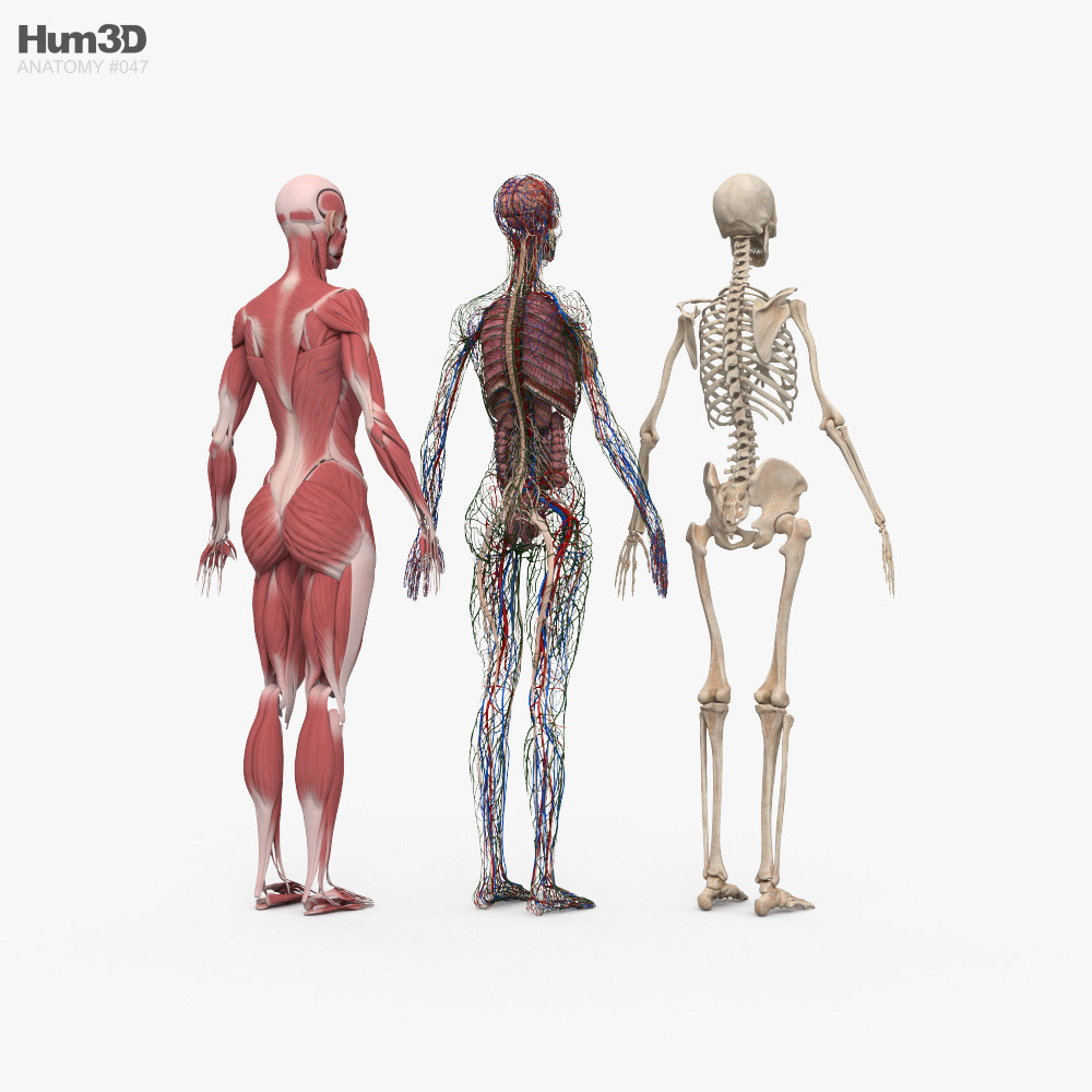 Complete Female Anatomy 3d model