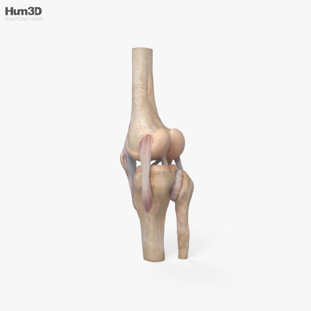 Knee Joint 3d model
