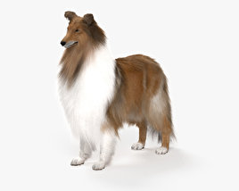3D model of Rough Collie HD