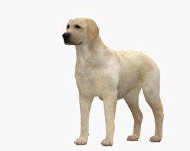 3D model of Labrador Retriever HD
