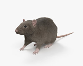 3D model of Common Rat HD