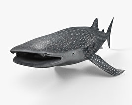 3D model of Whale Shark HD