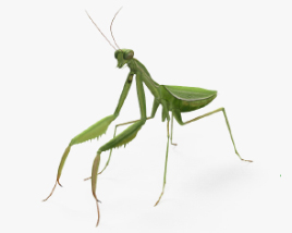 3D model of Mantis HD