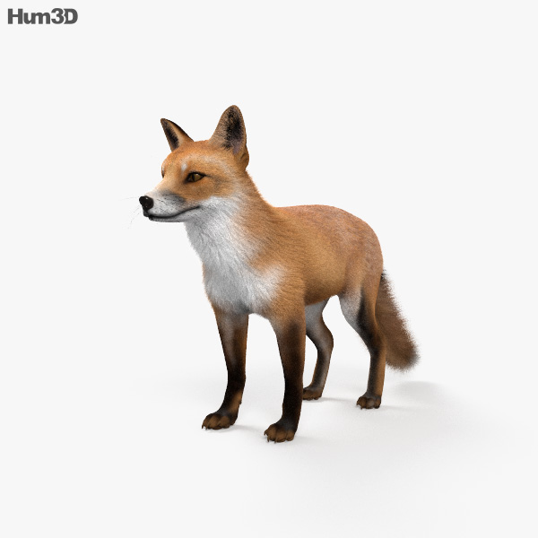 European Red Fox HD 3D model