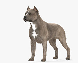 3D model of American Pit Bull Terrier HD