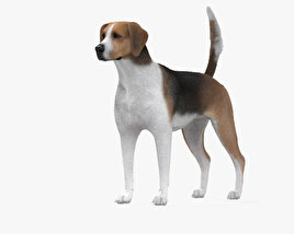 3D model of English Foxhound HD