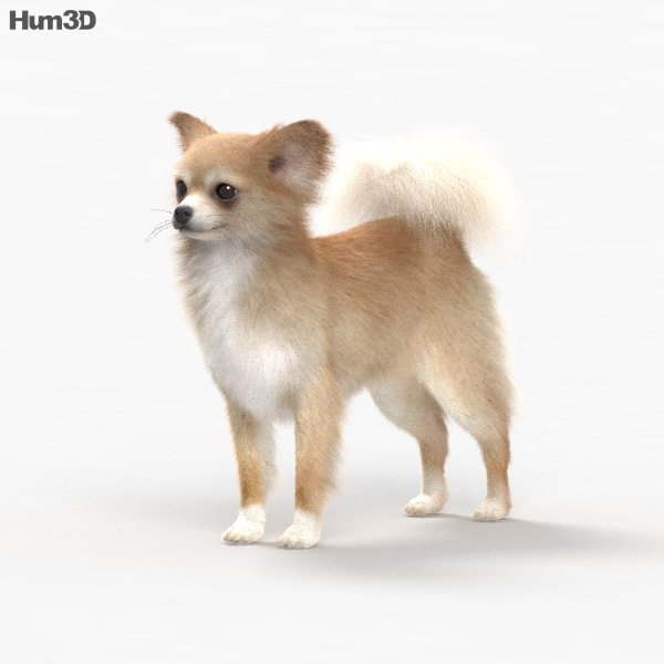 Chihuahua HD 3D model