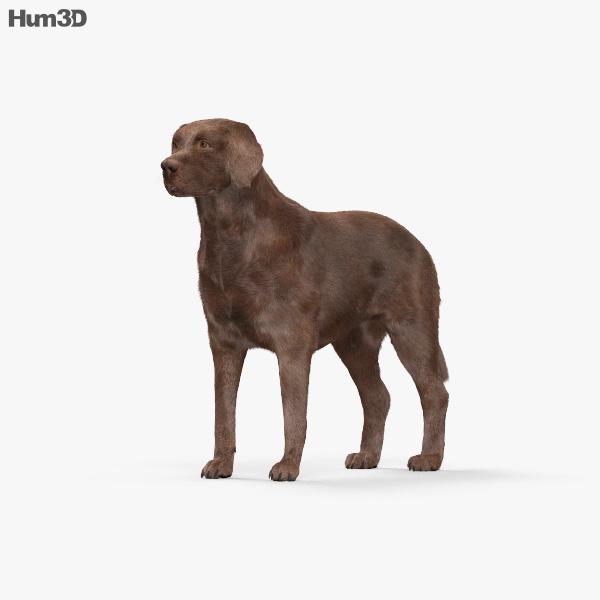 Labrador Retriever Chocolate HD 3D model