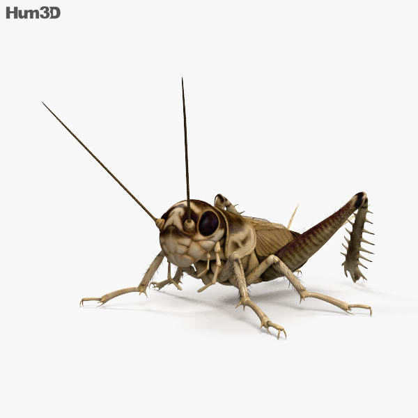 Cricket HD 3D model