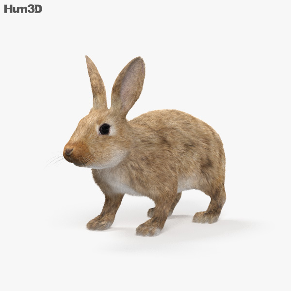 Common Rabbit HD 3D model