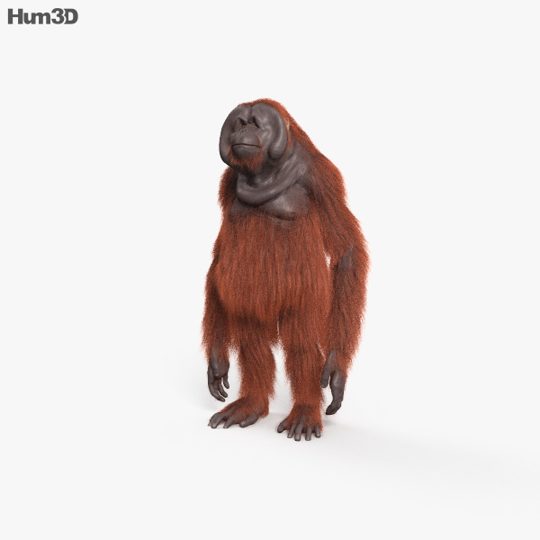Orangutan HD 3D model