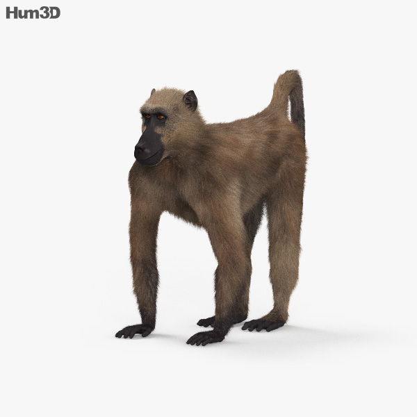 Chacma Baboon HD 3D model