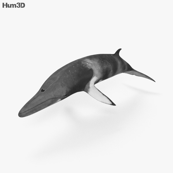 Minke Whale HD 3D model