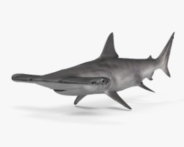 Smooth Hammerhead Shark HD 3D model