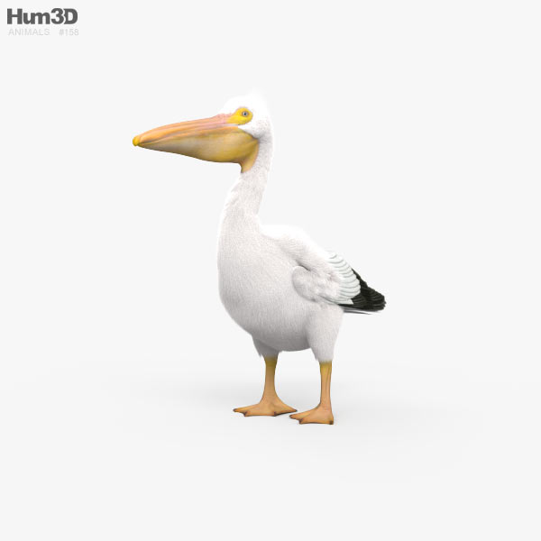 American White Pelican HD 3D model