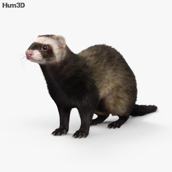 Ferret HD 3D model
