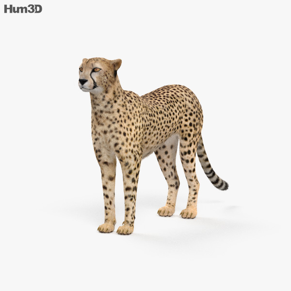 Cheetah HD 3D model
